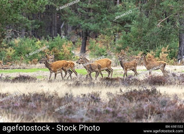 Red deer, Bald deer (Cervus elephus L.), NP Hoge Veluwe, Netherlands