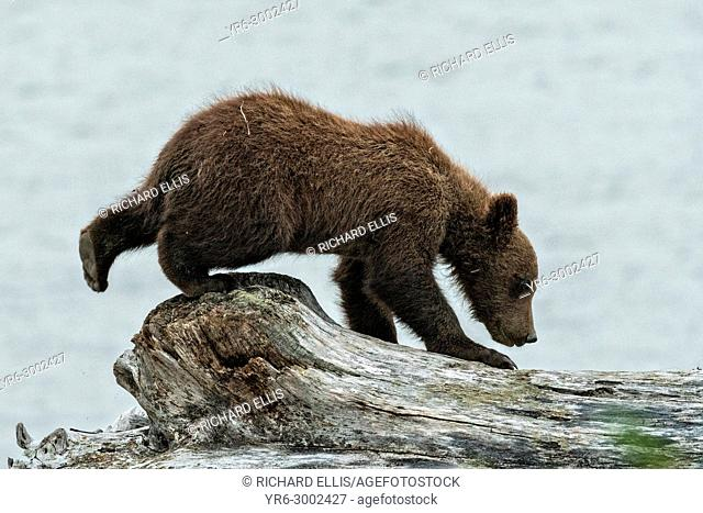 A brown bear spring cub explores the beach along the Cook Inlet at the McNeil River State Game Sanctuary on the Kenai Peninsula, Alaska