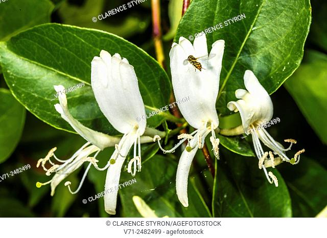 White Honeysuckle (Lonicera japonica) Spring Flowers