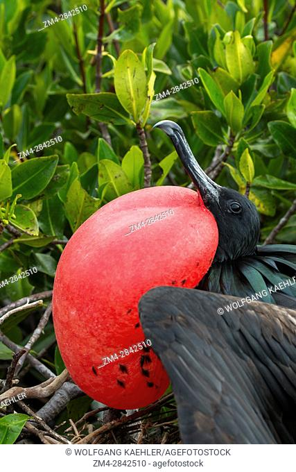 Close-up of a male frigate bird with inflated throat pouch (breeding season) on Genovesa Island (Tower Island) in the Galapagos Islands, Ecuador