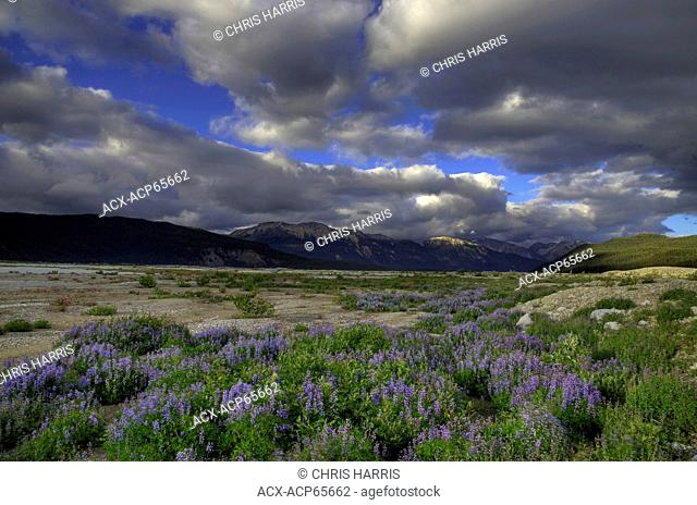 Lupins, Chilcotin Ark, Coast Mountains, British Columbia, Canada