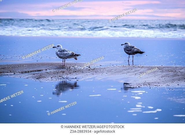 Seagulls at the beach of Scheveningen, The Hague, The Netherlands, Europe