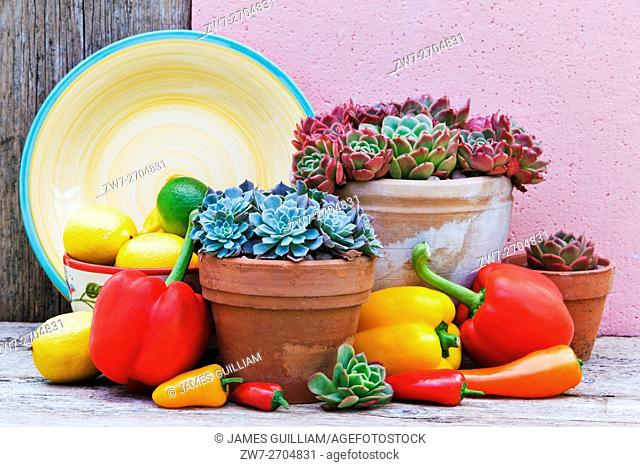 Echiverea plants in terracotta plant pots with capsicum, lemons and limes