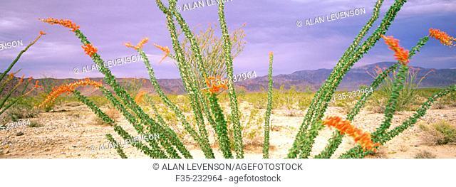 Ocotillo cactus in flower. Joshua Tree National Monument. California. USA