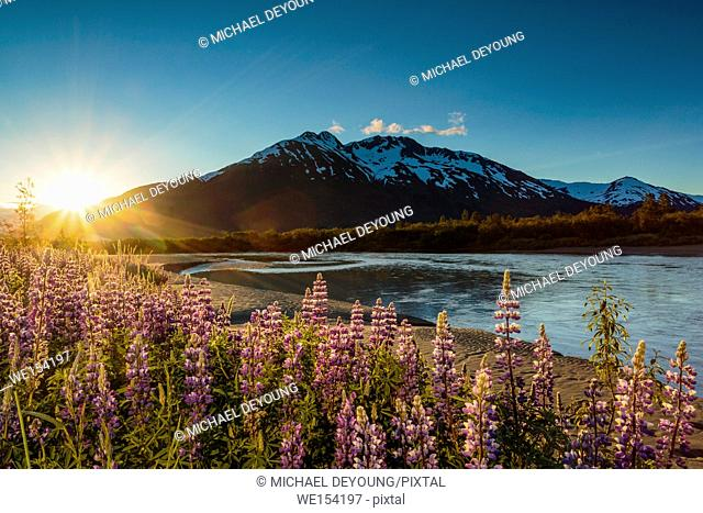 Field of lupine in bloom along Turnagain Arm at sunset