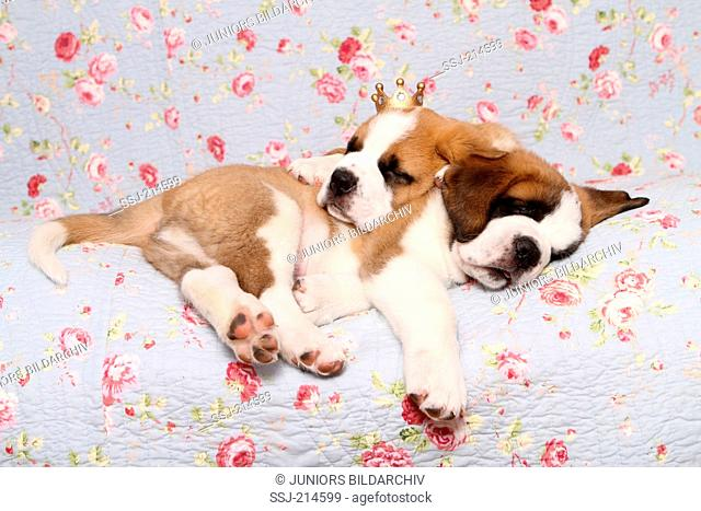 St. Bernard Dog. Two puppies (7 weeks old) sleeping on a blue blanket with rose flower print, one of them wearing a crown. Germany