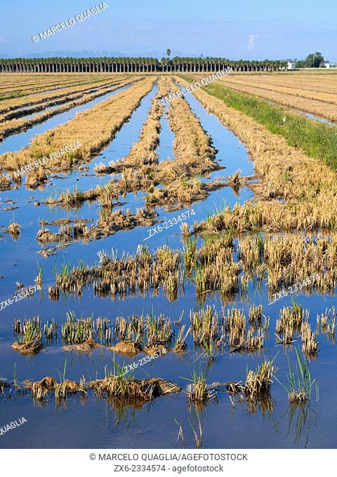 Harvested rice fields and Palm Trees plantation. Ebro River Delta Natural Park, Tarragona province, Catalonia, Spain