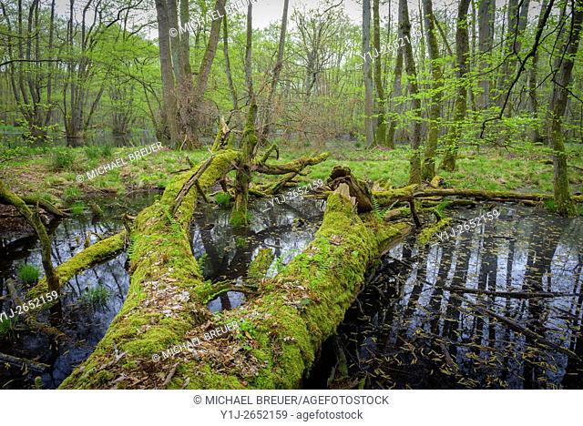 Old Dead Tree in Wetland, Spring, Hesse, Germany, Europe