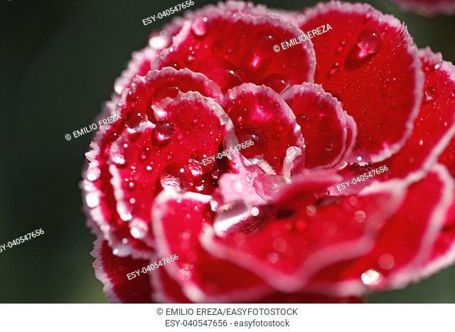 Droplets on carnation flower. Dianthus sp