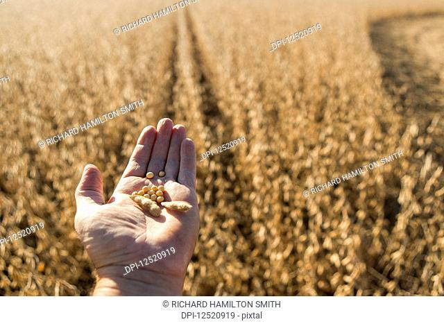 A farmer's hand holds soybeans and seed pod with crop and field in background; Minnesota, United States of America