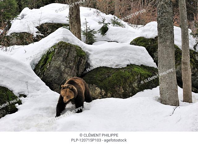 Eurasian brown bear Ursus arctos arctos in the snow in early spring emerging from den among rocks in woodland, Bavarian Forest National Park, Germany