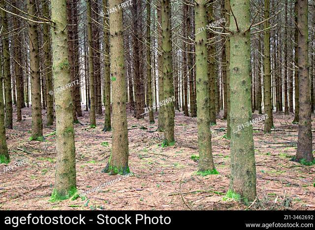 fir trees at Ardennen in belgium