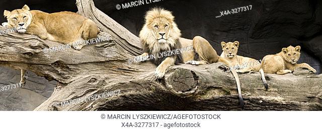 lion family, Tierpark Hagenbeck, Hamburg