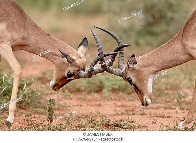 Two impala Aepyceros melampus bucks sparring, Imfolozi Game Reserve, South Africa, Africa