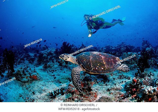 Hawksbill turtle and scuba diver, Eretmochelys imbricata, Indian ocean Ari Atol Atoll, Maldives Islands