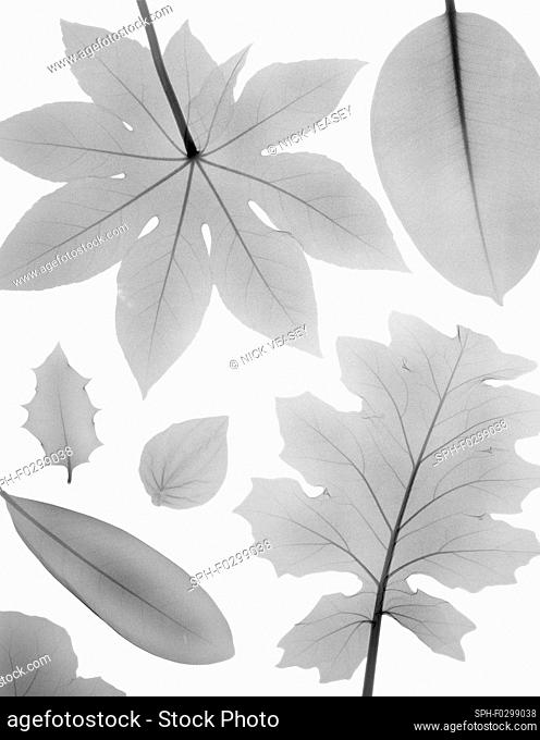 Variety of shaped leaves, X-ray
