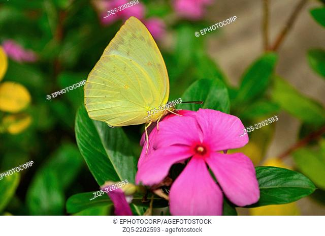 Large Grass Yellow or Common Grass Yellow (Eurema hecabe) butterfly, Pune, Maharashtra, India
