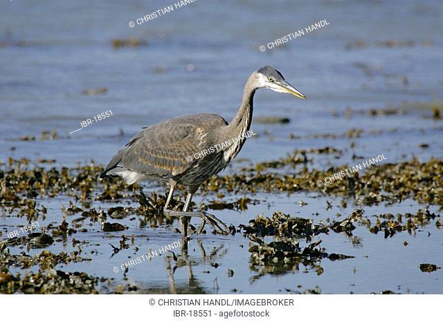 Great Blue Heron Ardea herodias Alaska USA