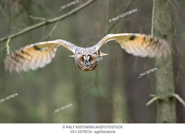 Indian Eagle-Owl / Rock Eagle-Owl / Bengalenuhu ( Bubo bengalensis ) in flight, dynamic frontal shot, very detailed, bright eyes
