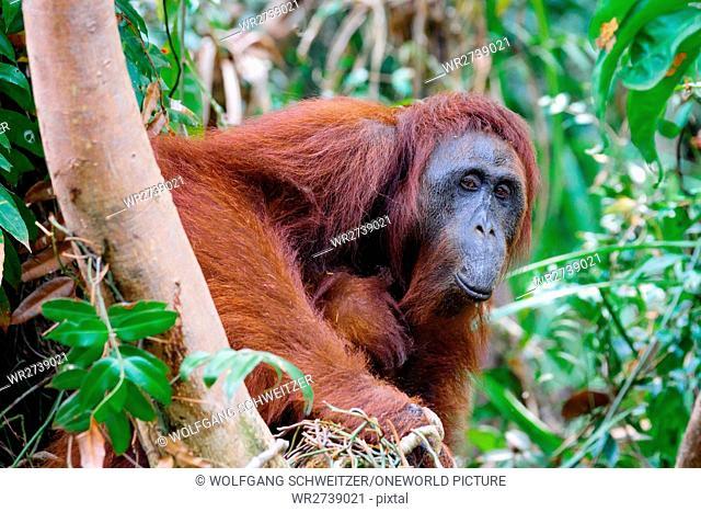Indonesia, Kalimantan, Borneo, Kotawaringin Barat, Tanjung Puting National Park, Orang-Utan attracts a grimace