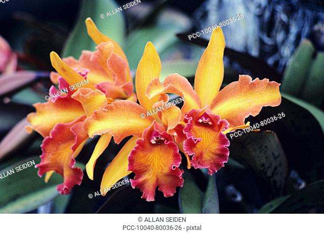 Close-up of red-orange cattleya orchids with green leaves
