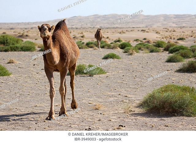 Dromedaries (Camelus dromedarius) in the desert, Dasht-e Kavir or Great Salt Desert, Marenjab, Maranjab, Semnan Province, Iran