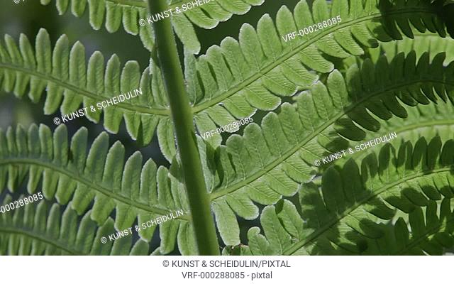 Close-up of the leaves of an Ostrich Fern (Matteuccia struthiopteris) growing in a forest. Noraström, Västernorrlands Län, Sweden