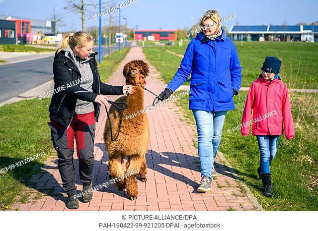 """14 April 2019, Lower Saxony, Drantum: A group of people go for a walk with an alpaca. On their farm """"""""Herzog-Alpakas"""""""" a family offers photo shoots and wool..."""