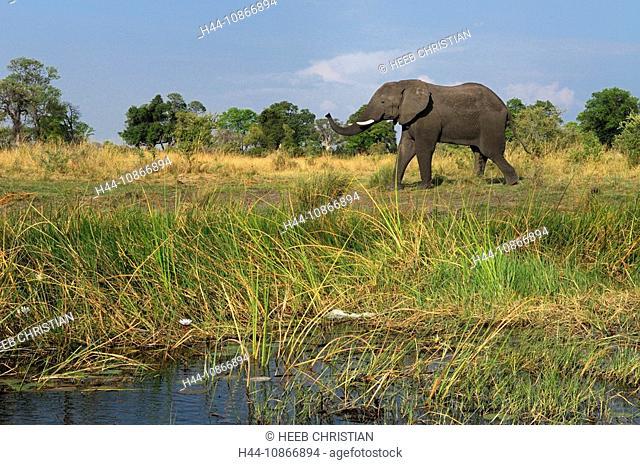 elephant, animals, Loxodonta africana, single male, Kwando River, Lianshulu Lodge, Mudumu, National Park, Caprivi, Namibia, Africa, Travel, Nature
