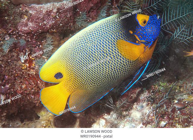 Painted Angelfish Pomacanthus xanthometopon, superb profile of fish swimming diagonally showing all markings, Sipadan, Mabul