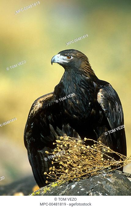 Golden Eagle (Aquila chrysaetos), Albuquerque, New Mexico