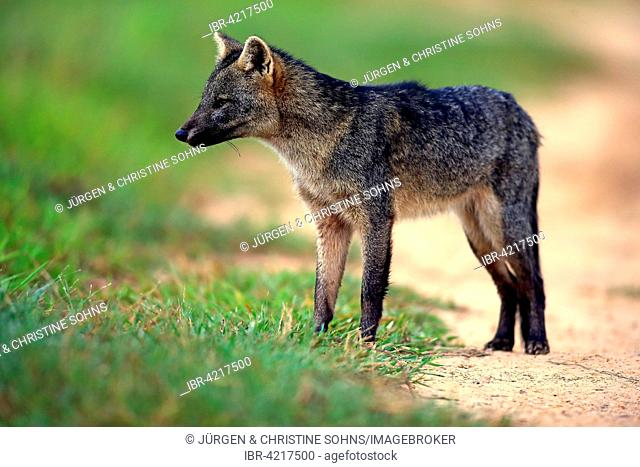 Crab-eating fox (Cerdocyon thous), adult, alert, Pantanal, Mato Grosso, Brazil
