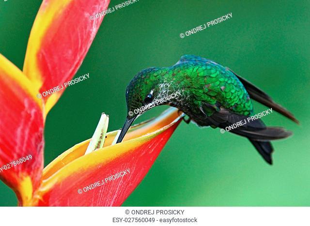 Nice hummingbird Green-crowned Brilliant, Heliodoxa jacula