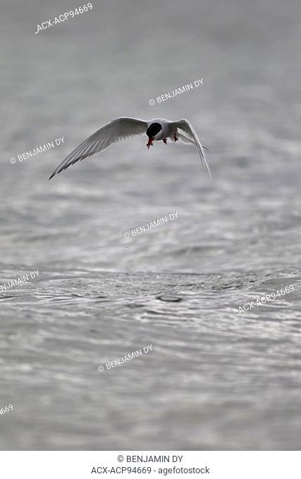 Arctic tern, Sterna paradisaea, Svalbard, Norway
