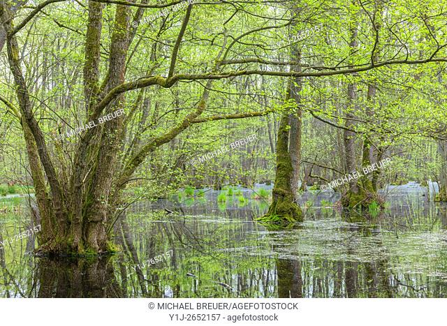 Black Alders (Alnus glutinosa) in Wetland, Spring, Hesse, Germany, Europe