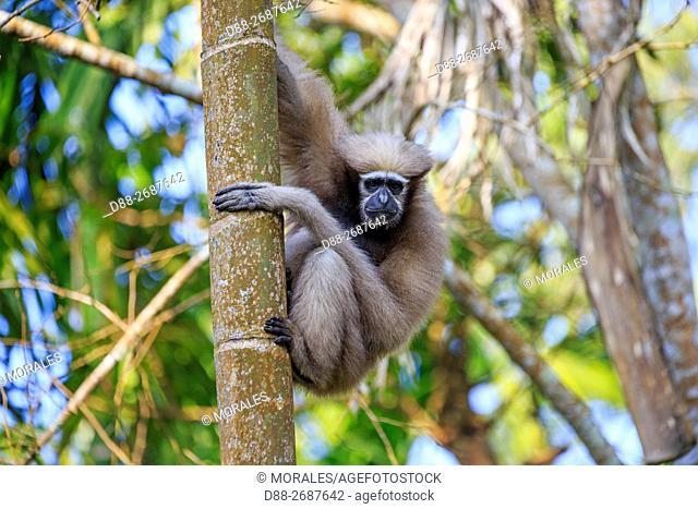 South east Asia, India, Tripura state, Gumti wildlife sanctuary, Western hoolock gibbon (Hoolock hoolock), adult female