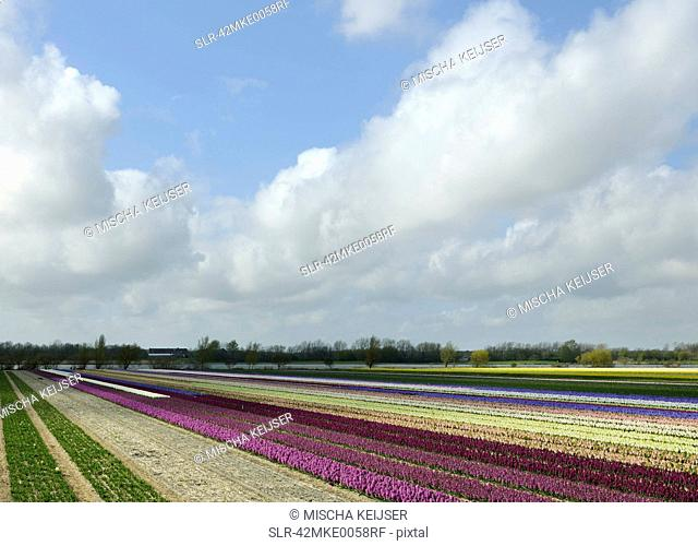 Flower crops in rural landscape