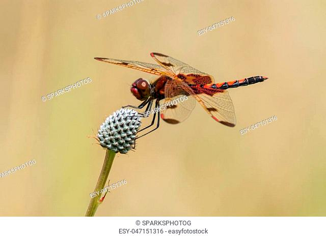 Calico Pennant, Celithemis elisa perched on a plant in a prairie