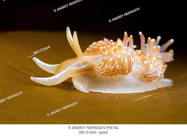 Nudibranch or Sea Slug ( Hermissenda crassicornis ) Sea of Japan, Rudnaya Pristan, Far East, Primorsky Krai, Russia