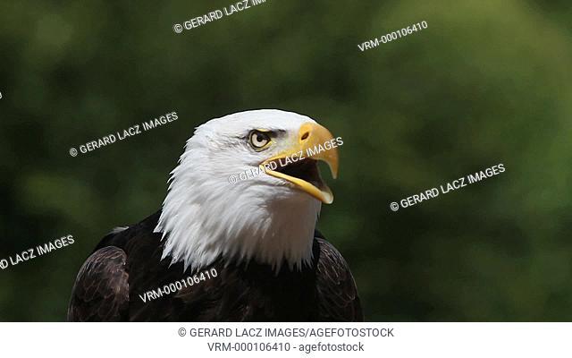 Bald Eagle, haliaeetus leucocephalus, Portrait of Adult Calling, looking around, Real Time