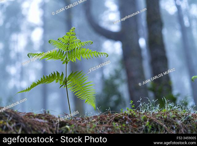 Ferns and Canary Island pine forest, El Pilar, El Paso Municipality, La Palma island, Canary Islands, Spain, Europe