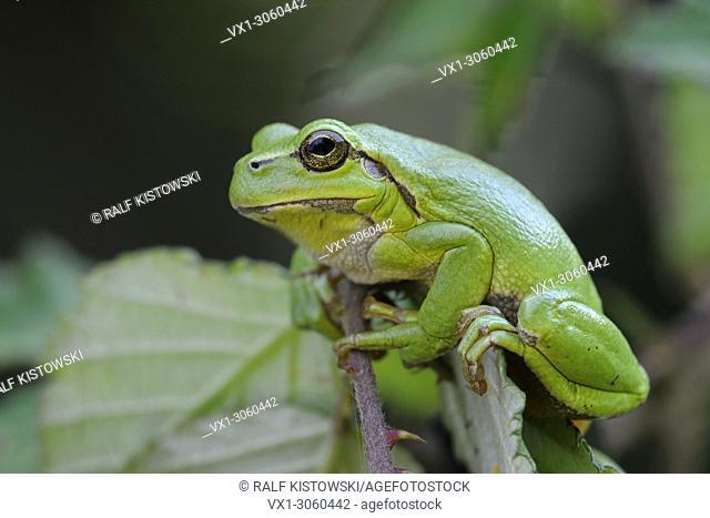 European Tree Frog (Hyla arborea), adult, sitting in Blackberry bushes, sunbathing, typical pose, wildlife, Germany, Europe