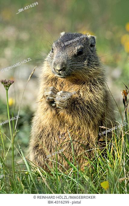 Alpine marmot (Marmota marmota), Offspring, Alp Trida, Samnaun, Canton of Grisons, Switzerland
