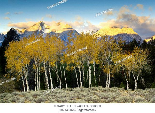 Aspen trees in fall below the Teton Range mountains at sunrise, Grand Teton National Park, Wyoming