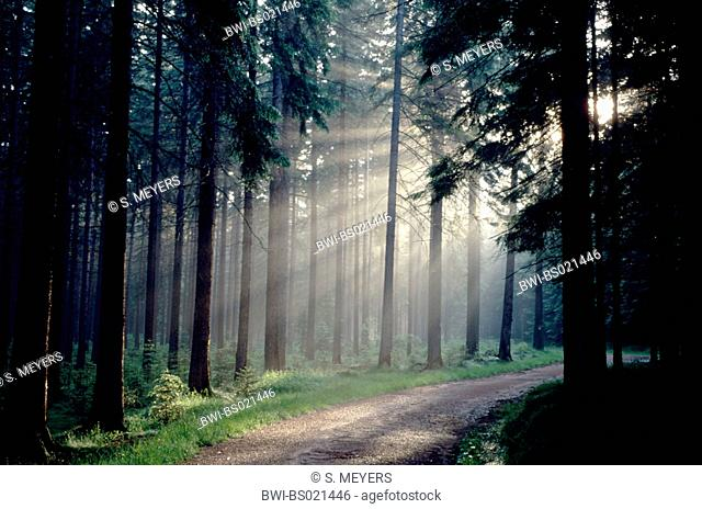 Norway spruce (Picea abies), sun breaking in pine forest, Germany, Saxony, Erz Mountains
