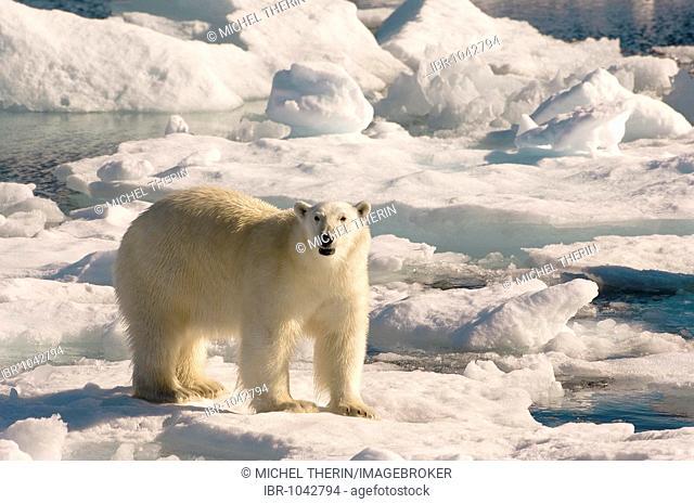 Polar Bear (Ursus maritimus) on floating ice, Davis Strait, Labrador Sea, Labrador, Canada, North America