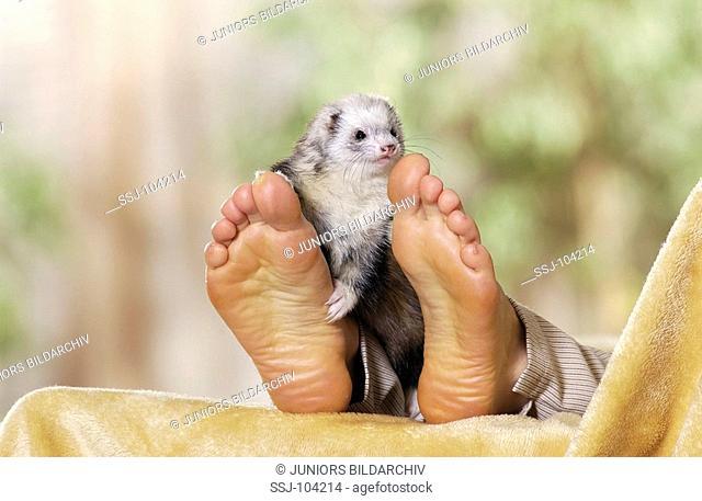 domestic polecat at feet / Mustela putorius f  furo