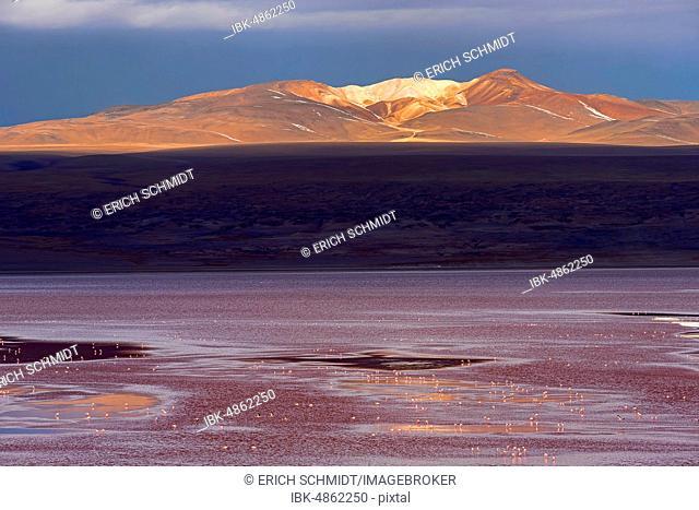 Laguna Colorada with flamingos, 4.323 m altitude, border to Chile, Andes, Altiplano, Reserva Nacional de Fauna Andina Eduardo Abaroa, Departamento Potosí