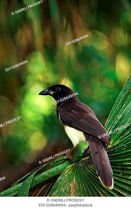 Brown Jay, Cyanocorax morio, bird from green Belize forest