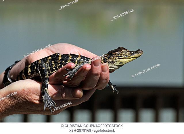 juvenile alligator, Gator Country Wildlife Adventure Park, Beaumont, Texas, United States of America, North America